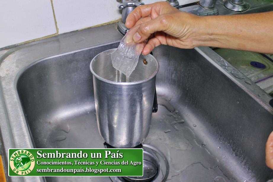 preparando bebida de sábila o aloe vera