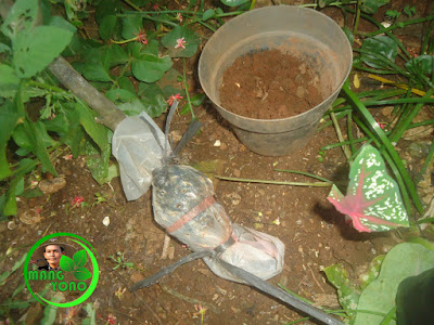 Mengisi media pot dengan media tanah setinggi 1/4 dari tinggi pot.