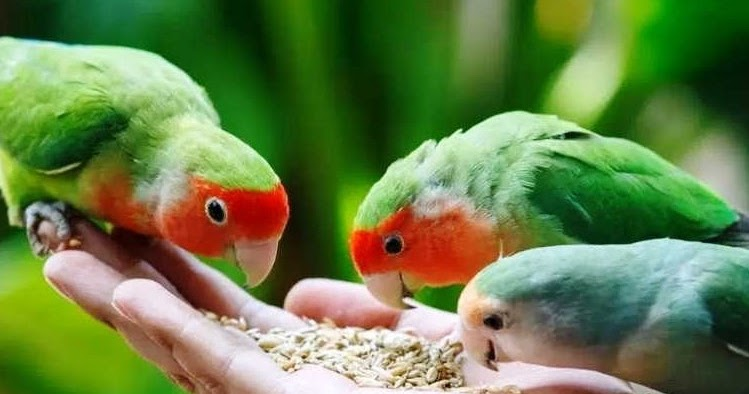 suara burung lovebird isian kenari