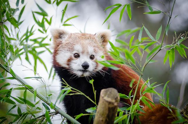 a cute red panda in darjeeling