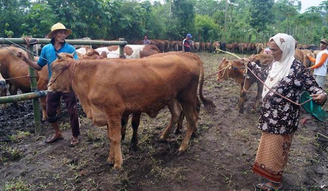 Ternak sapi di Lumajang