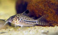 Jenis Ikan Corydoras gomezi