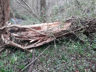Fallen ash tree in Thornton Wood. Photo: Paul Loughnane
