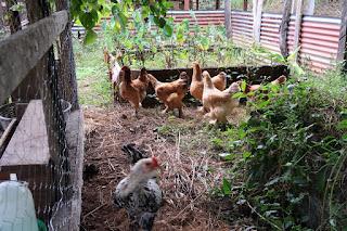 chicken flock in Puriscal
