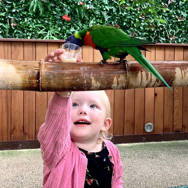 Little at Colchester Zoo essex holding a little pot of nectar while a lorikeet drinks from it