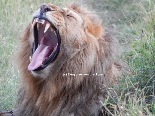 Lions in Masai Mara Safaris
