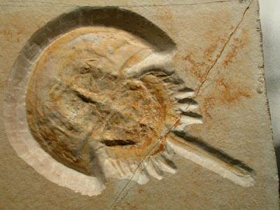 Horseshoe crab fossil