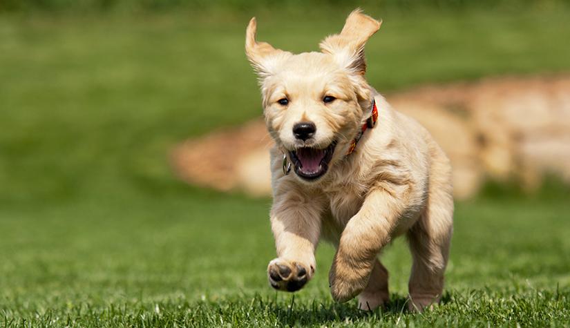 golden retriever family dog