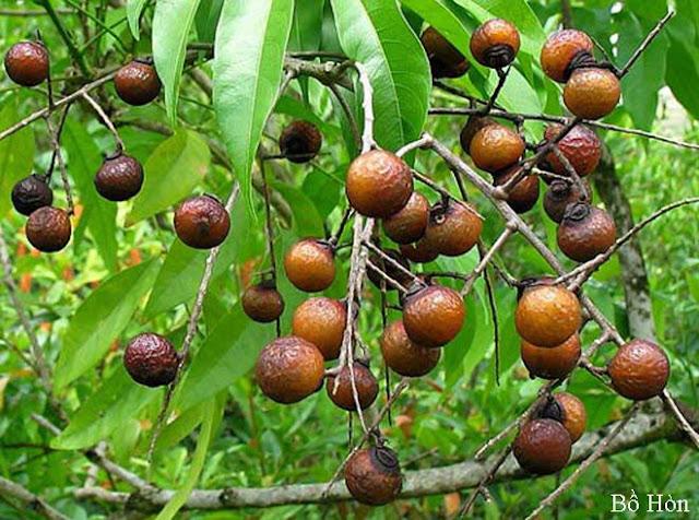Cây BỒ HÒN - Sapindus mukorossi - Nguyên liệu làm thuốc Chữa Ho Hen