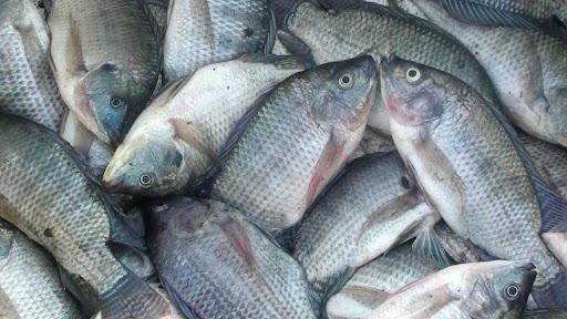 Info Harga Supplier Jual Ikan Nila Bibit dan Konsumsi Manokwari, Papua Barat