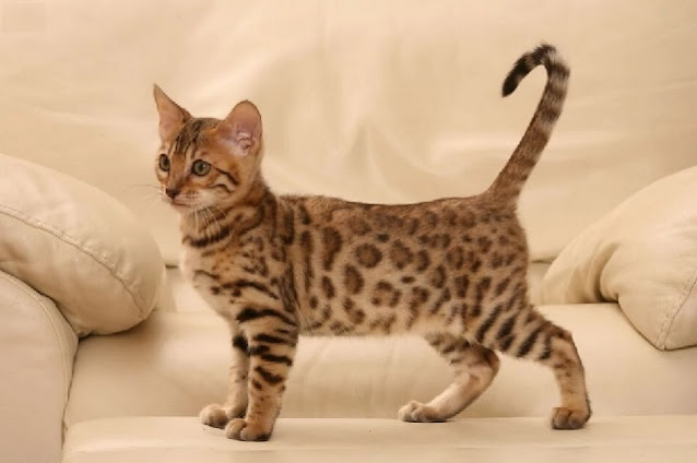Kucing bengal Rosetted Spotted