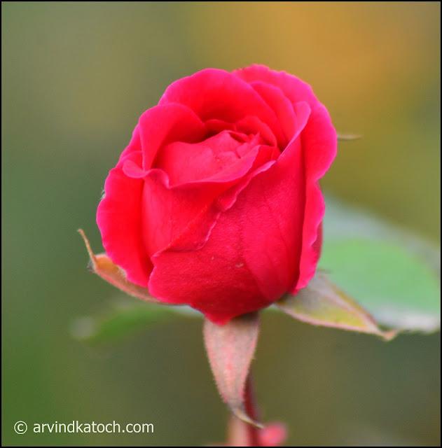 Red Rose, Rose, Bud
