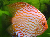 Ikan Hias Air Tawar Termahal diskus