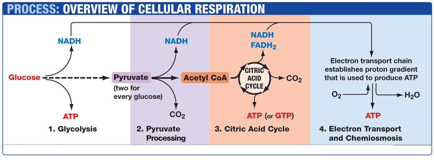 Membrane transport and glycolysis review