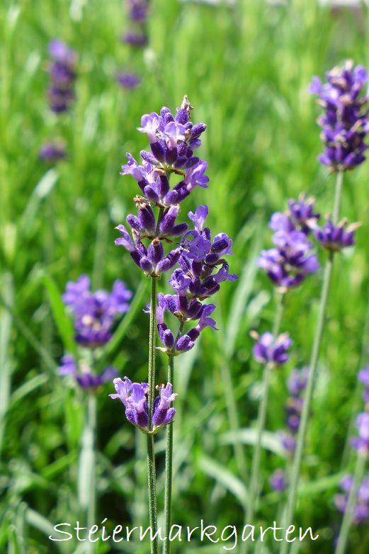 Lavendel Aussaen Lavendel Aus Samen Ziehen 2020 03 15