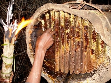 Collecting honey from a honey bee hive in Cameroon Africa