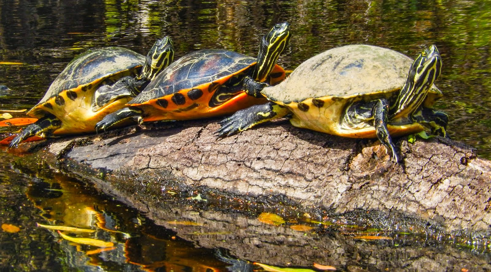 Florida's Beautiful River Cooter Turtles