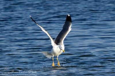 Gaviota Sombria - Larus Marinus (fotografia-de-naturaleza.blogspot.com)