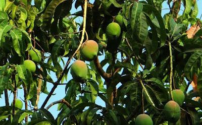 energi potensial buah di pohon