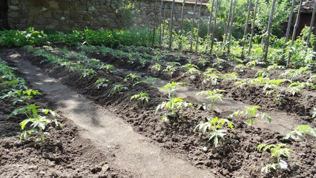 Pogledajte pravi način sadnje paradajza!