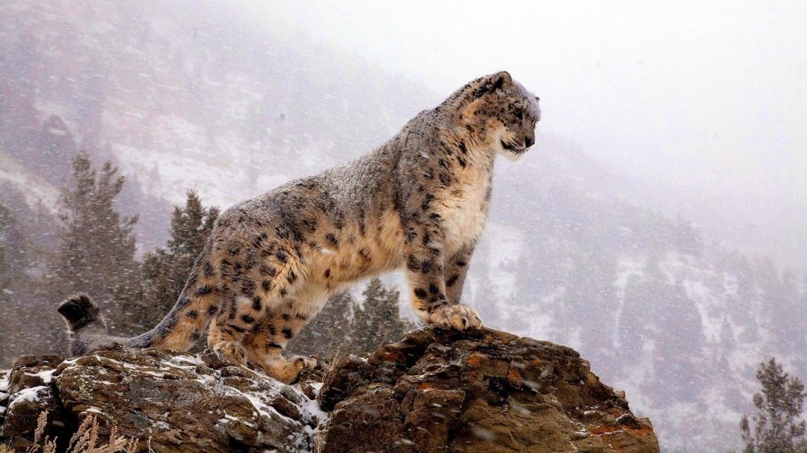 Снежный барс в Гималайских горах