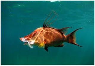 Jenis Ikan Laut Hias Aquarium Hogfish