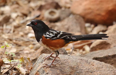 Photo of a Spotted Towhee on a rock
