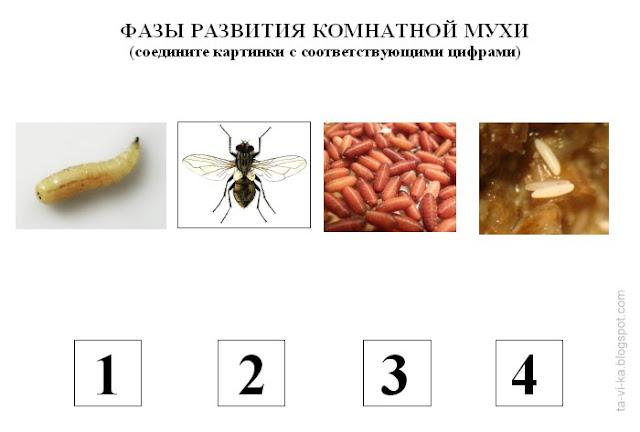 """фазы развития мухи - тематическое занятие """"Где спит муха"""""""
