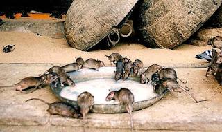 Tikus di Kuil Mata