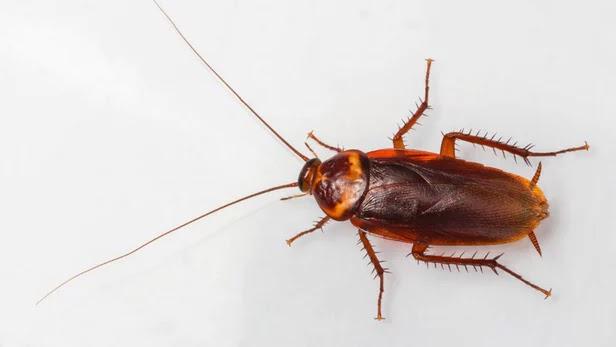 Τα εντομοκτόνα δεν μπορούν πλέον να σταματήσουν τις κατσαρίδες