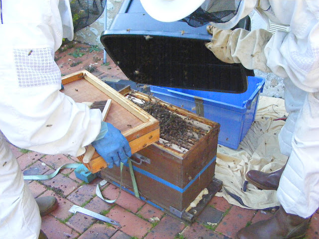 Bees recovered from a feral colony are tipped into a hive during a rescue operation, Indre et Loire, France. Photo by Loire Valley Time Travel.