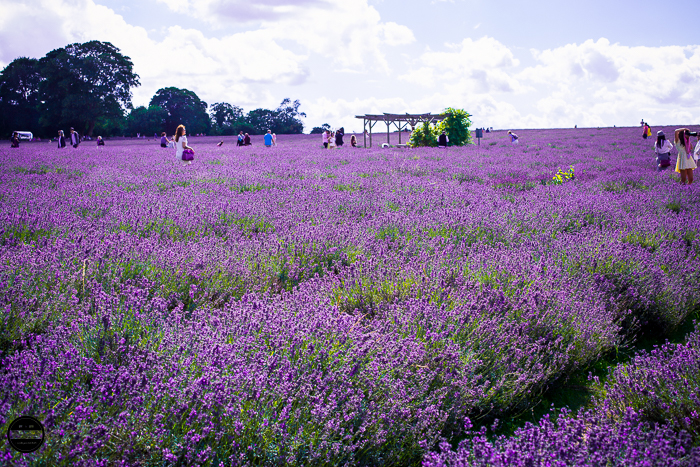 Mayfield Lavender Farm, near London! an amazing place to visit during summer months with friends and family.