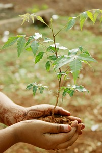 How to Grow Neem Plant From Seed