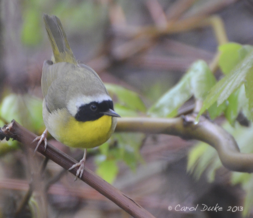 A Bestiary: Songbirds ~ Common Yellowthroat Warbler