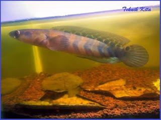 Jenis Ikan Channa Maru