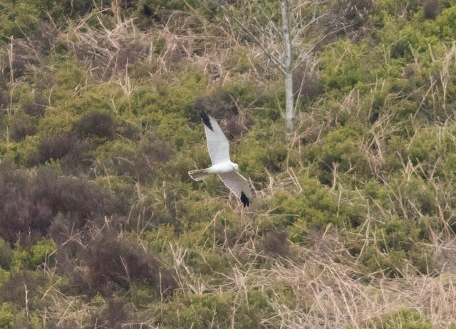 Pallid Harrier - Lancashire