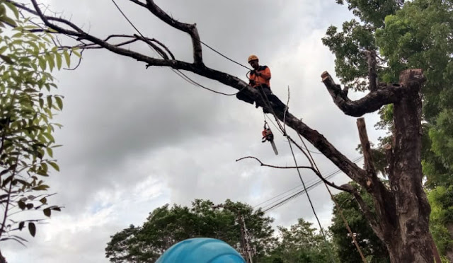 Pemotongan pohon rawan tumbang