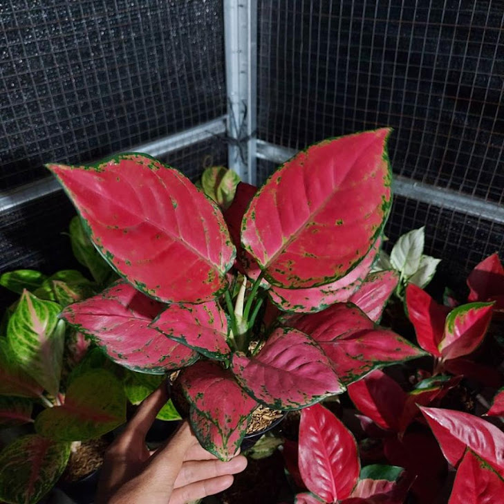 aglonema red anjamani DAUN 7 8 Jawa Barat