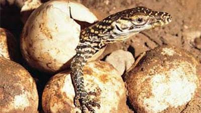 Komodo menetas Perkembangbiakan Komodo