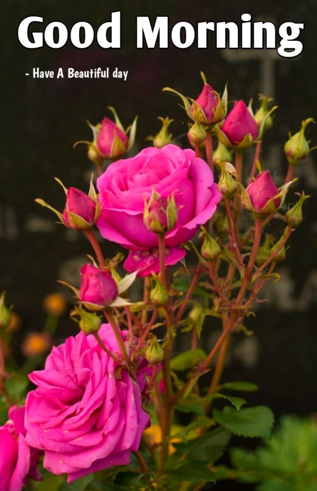 50+ Good Morning Images With Rose Flowers