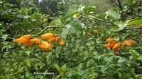 Gold finger flowers - Waimea Valley, Oahu, HI
