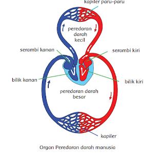 Sistem peredaran darah manusia kelas 5 tema 4