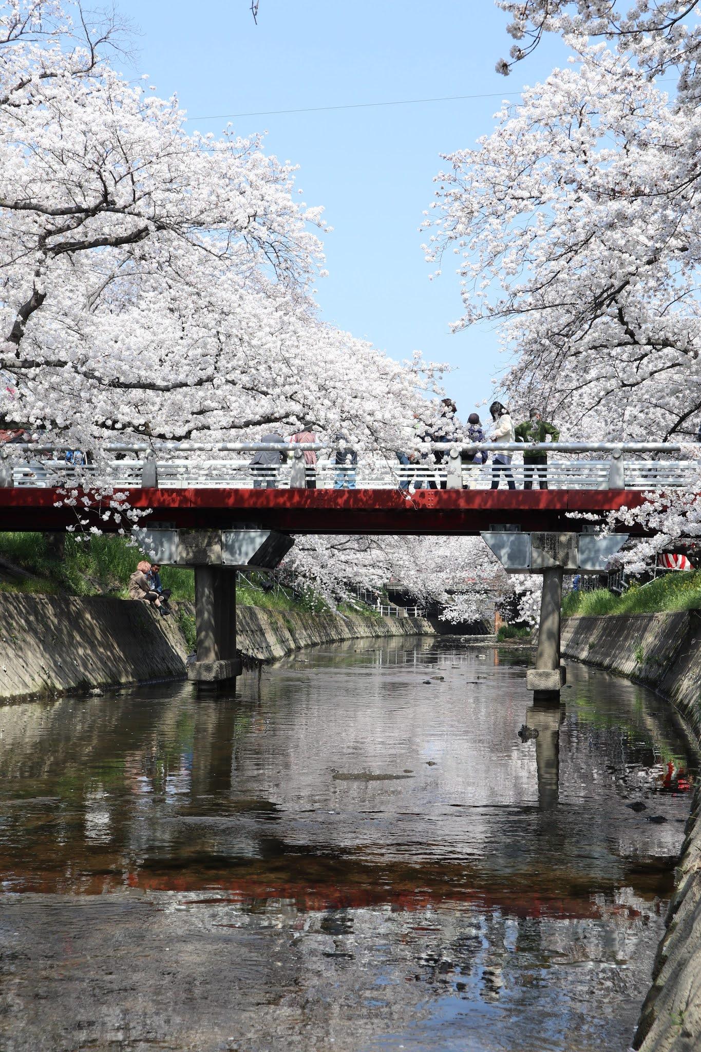 岩倉桜まつり6