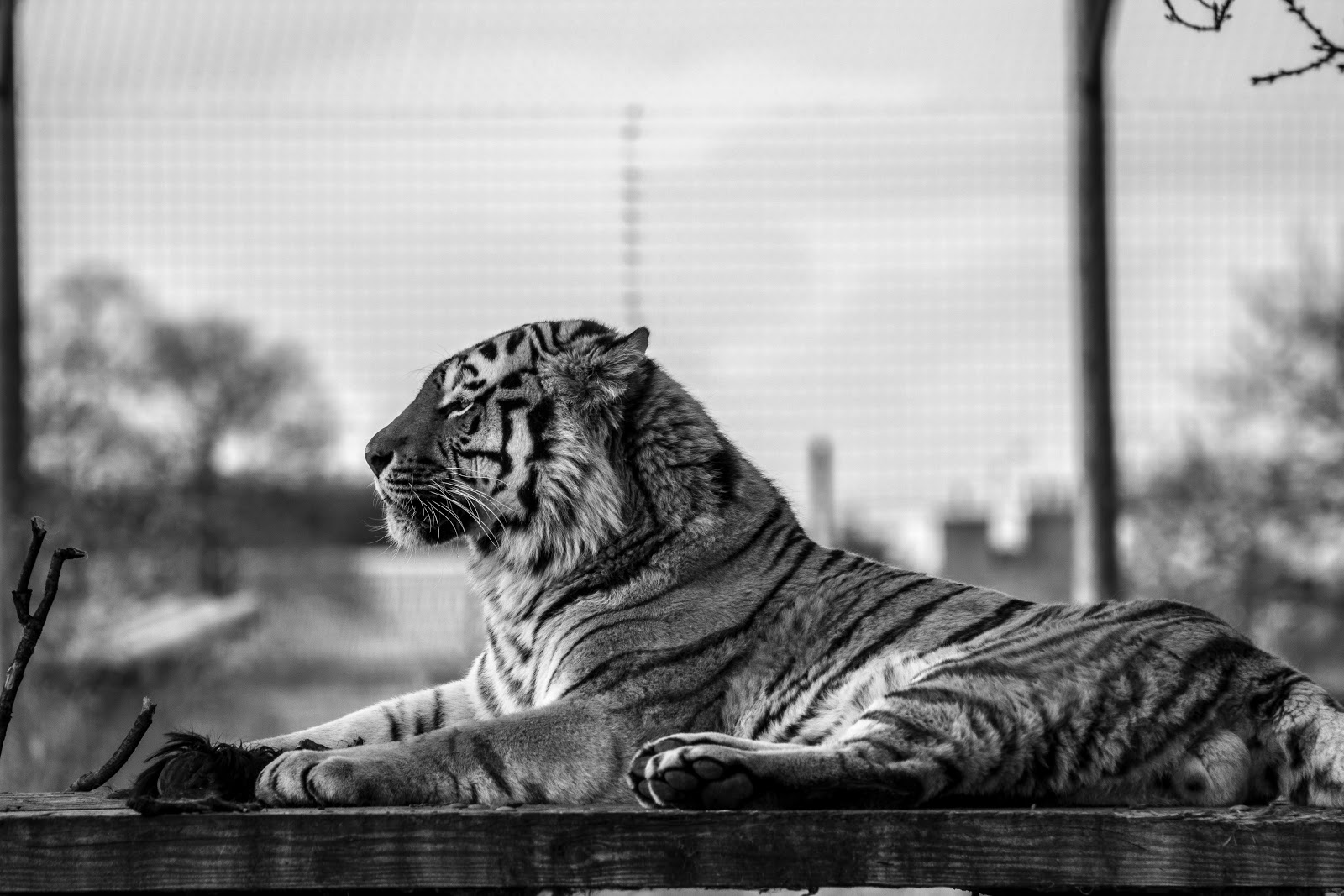 greyscale-picture-of-yellow-tiger-images