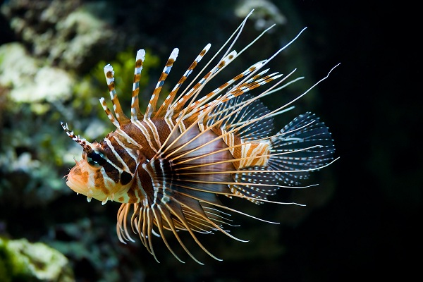 Spotfin Lionfish - cá sư tử đốm