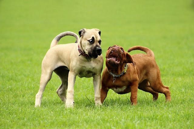 Boerboel dogs dangerous
