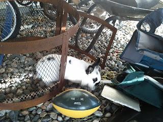 Bonnie rabbit outside