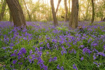 Bunga Bluebell