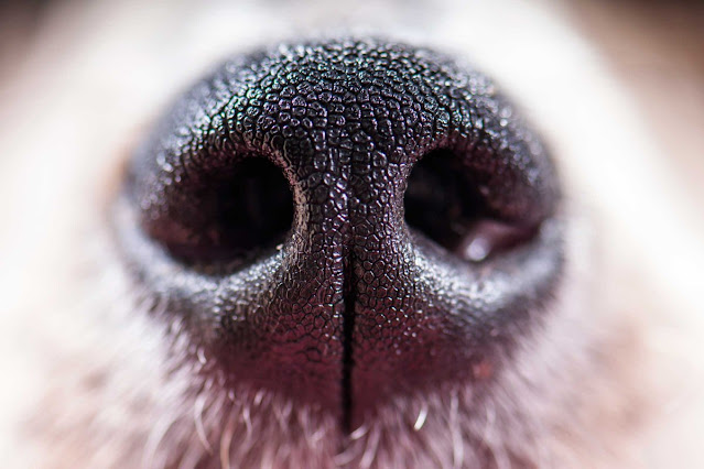 Why Do Dogs Have Wet Noses? The Science Behind It