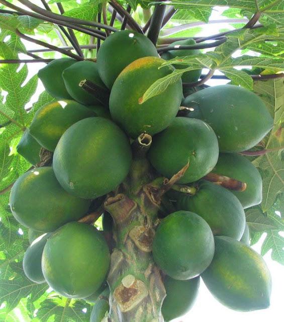 Quả Đu Đủ - Carica papaya - Nguyên liệu làm thuốc Chữa Bệnh Tiêu Hóa